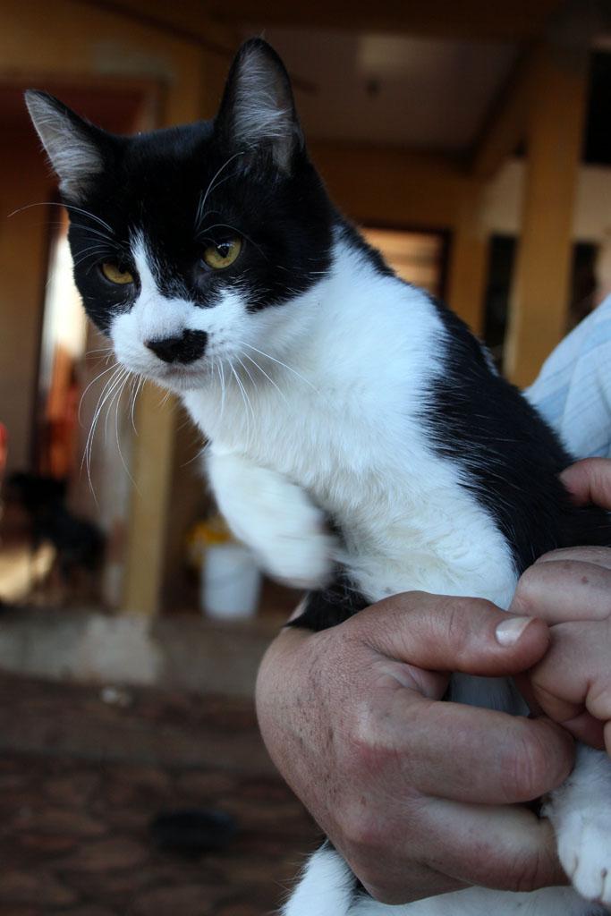Gato Preto e Branco Raça Gato Preto e Branco Sem Nome